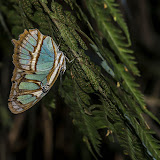 Siproeta stelenes (Linnaeus, 1758). Bosque Bavaria (Villavicencio, Meta, Colombie), 9 novembre 2015. Photo : B. Lalanne-Cassou