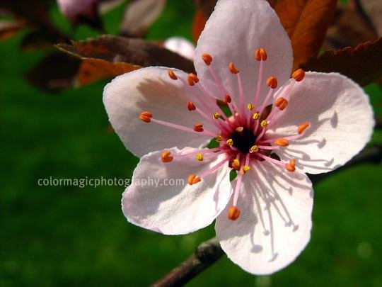 Cherry plum flower-close-up-Prunus cerasifera