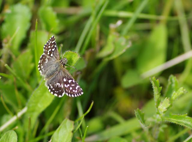 Pyrgus malvae, L., 1758. Hautes-Lisières (Rouvres, 28), 20 mai 2012. Photo : J.-M. Gayman