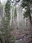Pretty, yet eerie, Aspen trees?