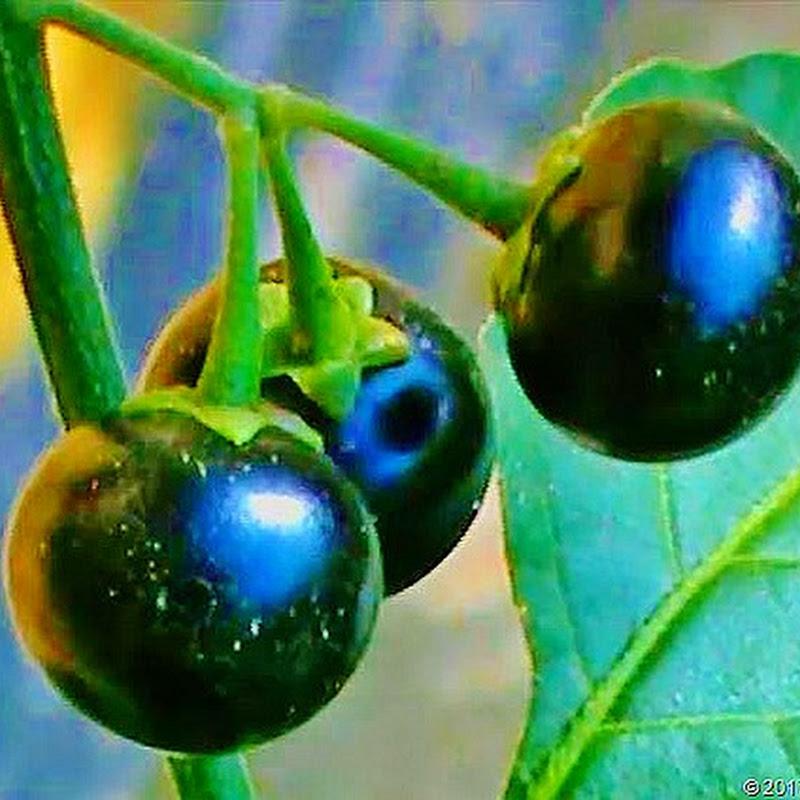 Ciri-ciri Tumbuhan (Buah) Ranti atau Leunca serta Khasiat dan Manfaatnya