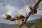 桜のつぼみが膨らんできました。(PM) 2012-04-20T05:17:18.000Z