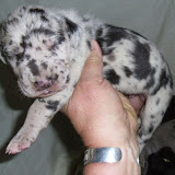 harlequin male @ 10 days/available