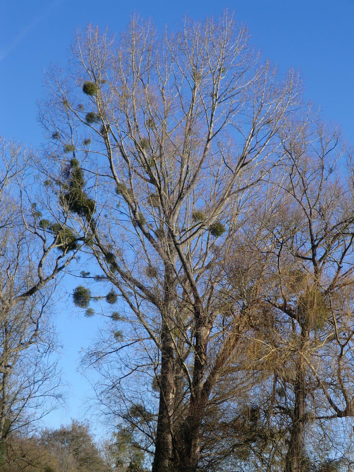 CIMG4980 Mistletoe, Brockham