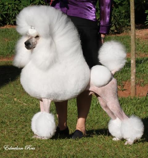 những em poodle đáng yêu nhất thế giớiẢnh chó Poodle đẹp. Ảnh chó Poodle cute. Ảnh chó Poodle dễ thương