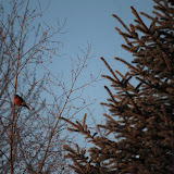 American Robin in winter  (Alyson Werger)
