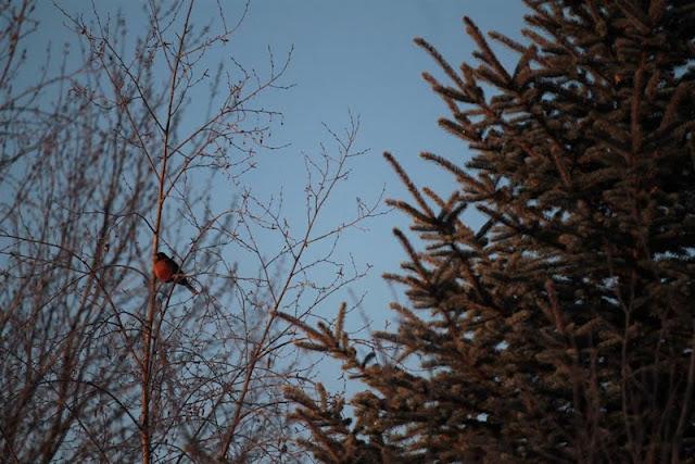 American Robin in winter  (Alyson Werger)