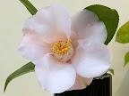 淡桃色 一重 筒〜ラッパ咲き 筒しべ 中輪