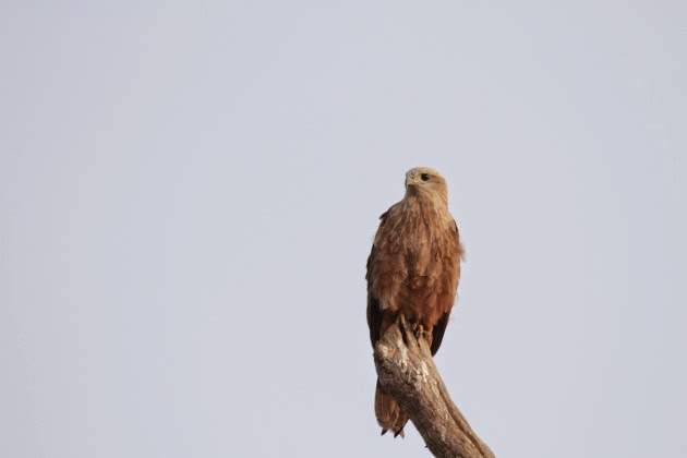 Marsh Harrier at Ranganthitu Bird Sanctuary