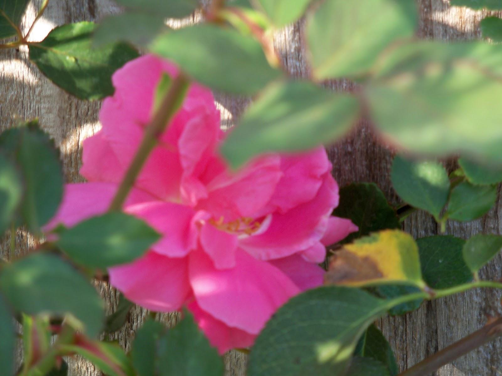 Gardening 2011 - 100_6856.JPG