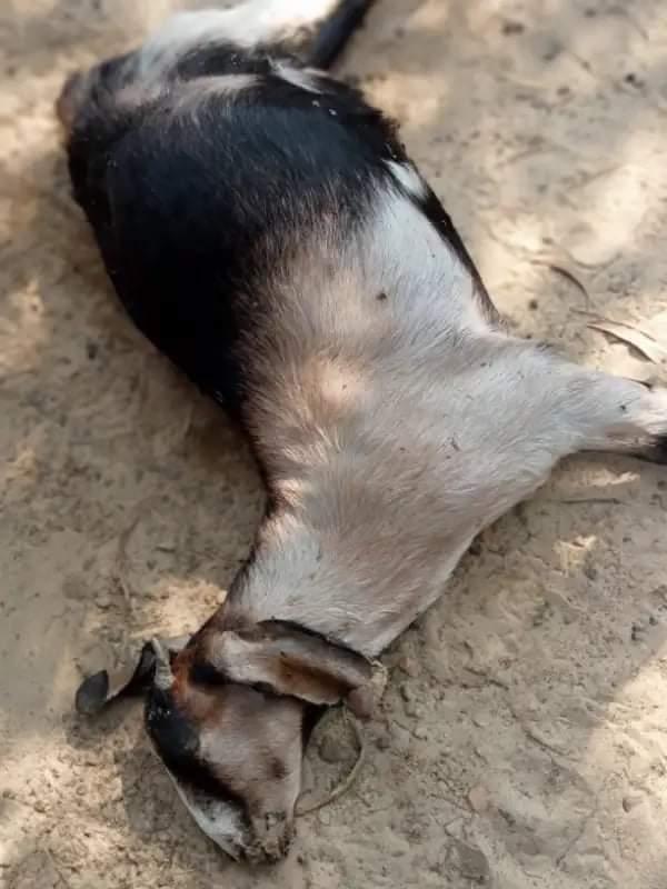 ভারুয়াখালীতে ডাক্তারের ভূল চিকিৎসায় একাধিক গৃহপালিত পশুর মৃত্যু