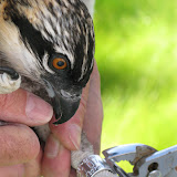 Osprey Banding - Pictures%2B063.jpg