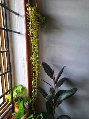 Pillow plant