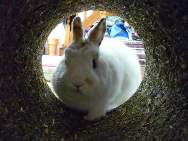 Mirana, lapine blanche-[adoptée] Mirana18
