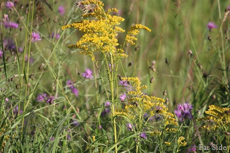 Goldenrod and Spotted Knapweed