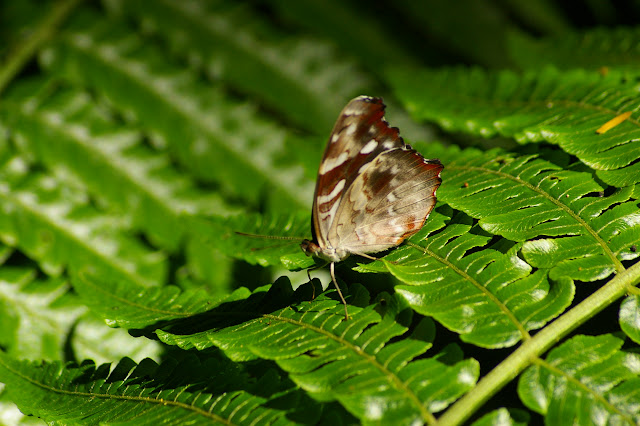 Myscelia orsis DRURY, 1782, femelle. Caçandoca (Ubatuba, SP), 21 février 2011. Photo : J.-M. Gayman