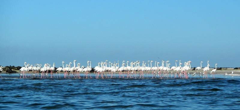 Flamingos seen at Pelican Point