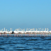Flamingos seen at Pelican Point