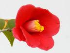 濃紅色 一重 長筒咲き 筒しべ 小〜中輪