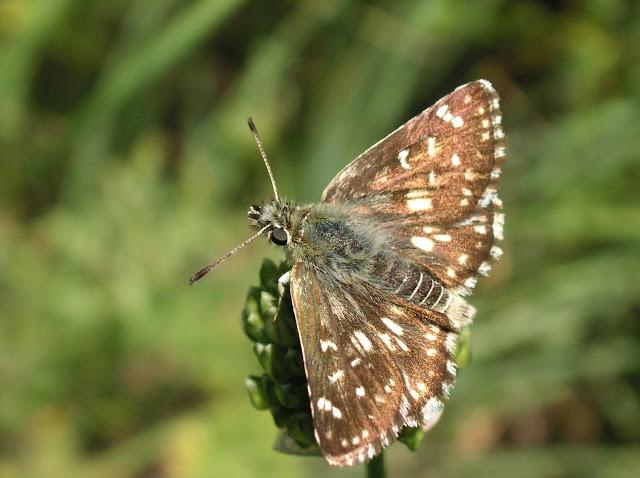 Muschampia kuenlunus GRUM-GRSHIMAILO, 1893 (1900 m). Kekemeren, 30 juin 2006. Photo : J. Michel