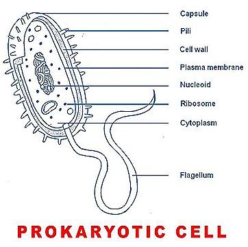 prokaryotic cell structure biozoom rh biozoomer com Prokaryotic Cell Structure Diagram simple prokaryotic cell structure