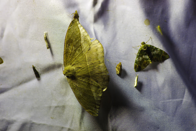Ennominae : Oxydia sp. Choachi, 1850 m (Cundinamarca, Colombie), 10 novembre 2015. Photo : J.-M. Gayman