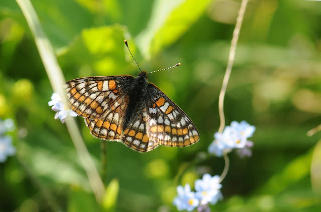 Euphydryas iduna emerita CHURKIN & KOLESNICHENKO, 2003. Shebalino (alt. 900 m), 6 juillet 2010. Photo : B. Lalanne-Cassou