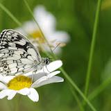 Melanargia galathea (L., 1758), mâle. Les Hautes-Lisières (Rouvres, 28), 17 juin 2012. Photo : J.-M. Gayman