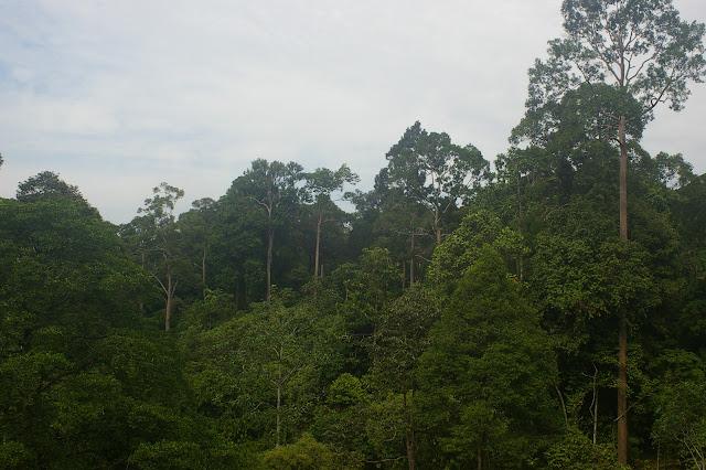 La forêt de Sepilok, 10 août 2011. Photo : J.-M. Gayman