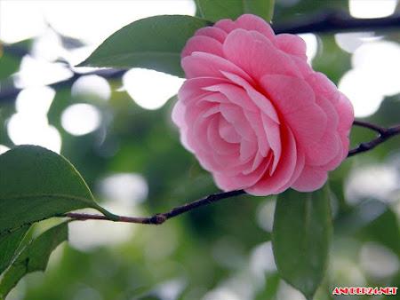 Ngắm hình ảnh hoa trà đẹp nhất dịu dàng thắm tươi say đắm bao tâm hồn