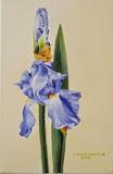 błękitny irys olej, płótno, 20/30 cm, własność prywatna