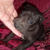 Eric & Elissa's black male @ 4 weeks