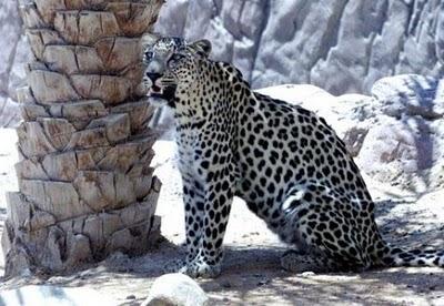 Oman - Arabian leopard
