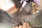 2つ目の階段を上がると木は3つ分れ、そこが広い空間になっている。子供たちは、像の顔と呼び、目を指差している???? これは、先代、当家のおじいちゃんが昔移植した木。少なくとも100年、ひょっとすると200年経つかもしれないとのこと。この森の多くの大木がそうして守り育てられてきたことに感動して、この建設を決めた。彼の木に、彼が貯めた木材を使って作ってみたかった。
