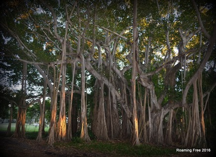 Another Banyan Tree