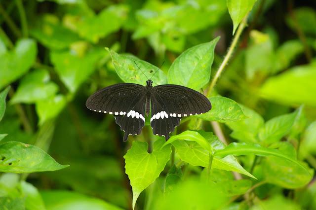 Papilio polytes theseus CRAMER, (1777), mâle. Sukau (Sabah), 13 août 2011. Photo : J.-M. Gayman