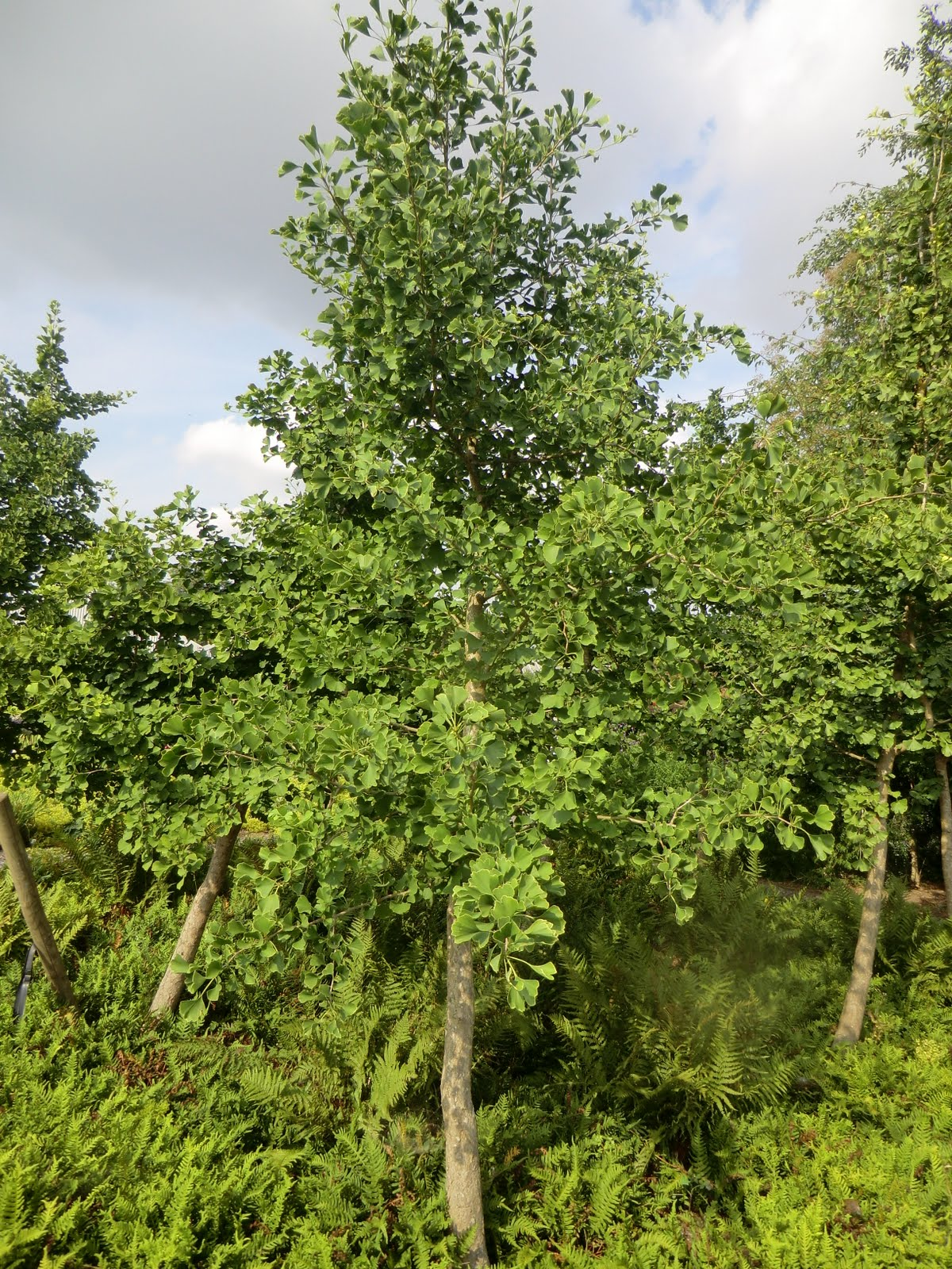 CIMG2746 Ginkgo biloba trees, Broadview Gardens