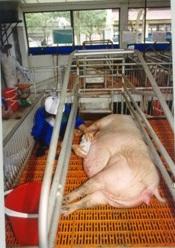 Hướng dẫn cách nuôi lợn nái mang thai - 55c881e26dc62