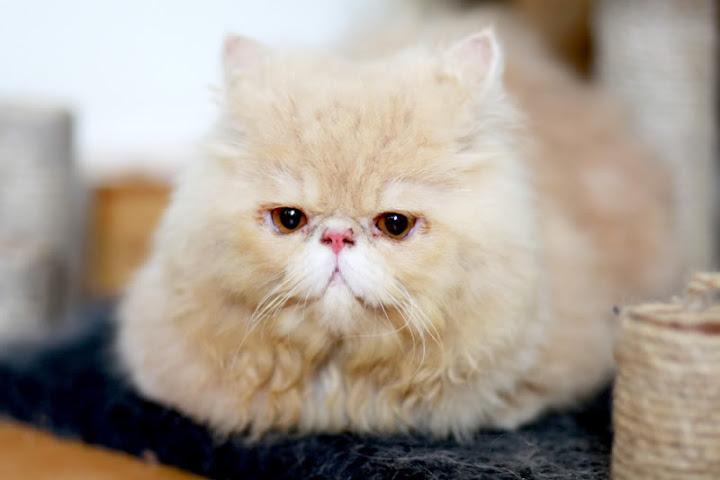 Cách nuôi và chăm sóc mèo ba tư