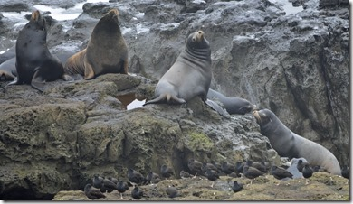Sea Lions abd Oystercatchers