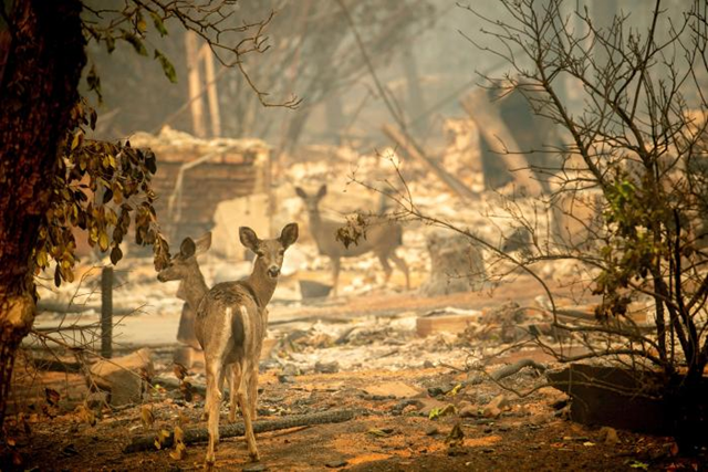 Three deer walk past a destroyed home on Orrin Lane after the wildfire burned through Paradise, California, on Saturday, 10 November 2018. Not much is left in Paradise after a ferocious wildfire roared through the Northern California town as residents fled and entire neighborhoods are leveled. Photo: AP