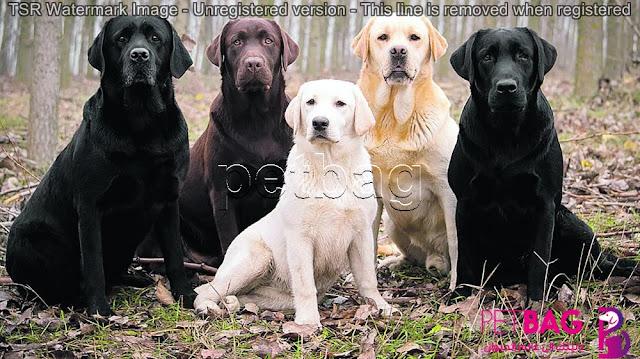 شكل وألوان كلاب لابرادور