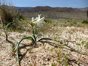 Desert Lily on Egg Mountain
