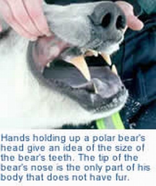 Urso pardo vs Urso polar 261