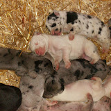 Gretta's litter at 5 days