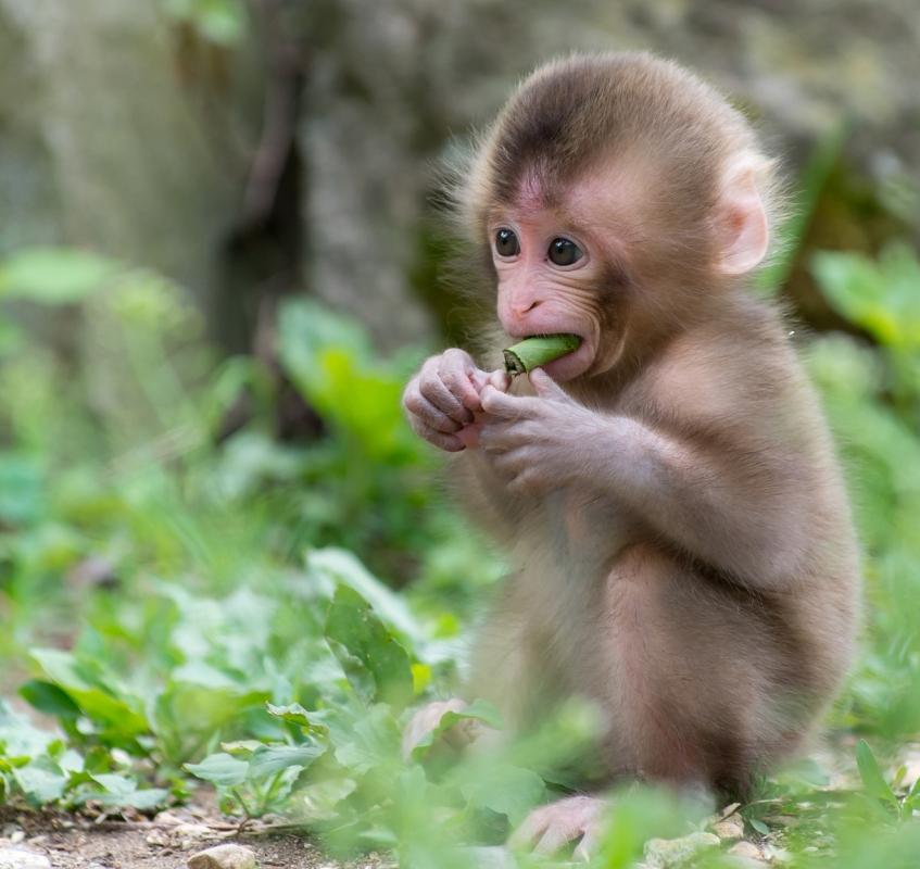 Khỉ con ăn chuối