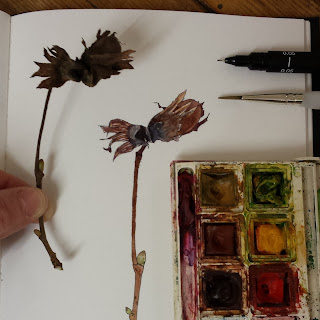 Hazel nut and bud study by Alice Draws The Line