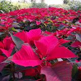 cultivo de plantas florales perennes - Copia%2Bde%2B100_0303.JPG