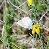 Cupido minimus (Fuessly, 1775). Les Hautes-Courennes (480 m). Saint-Martin-de-Castillon (Vaucluse), 13 mai 2014. Photo : J.-M. Gayman