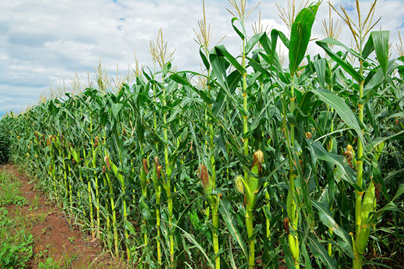 Row of green corn (maize) growing in the field during summer